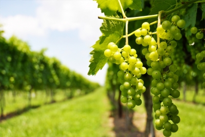 Obavijest vinogradarima!